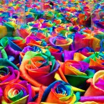 Cultivation of multi-colored roses